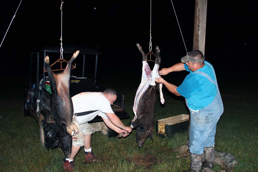 Cleaning Hogs that were caught