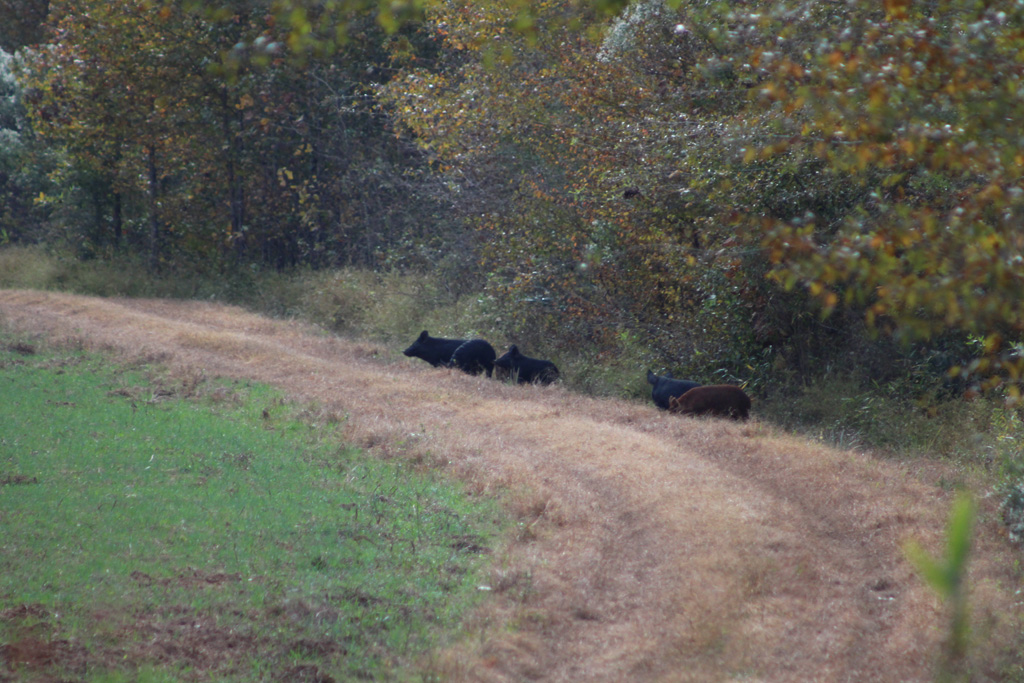 Hogs hanging out