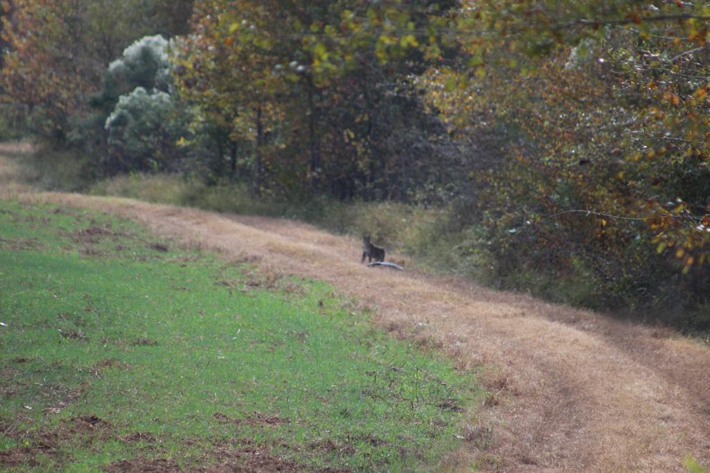 ga_hogs-coyote-2257