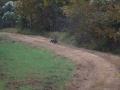 ga_hogs-coyote-2248