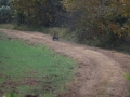 ga_hogs-coyote-2249