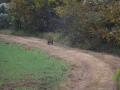 ga_hogs-coyote-2251