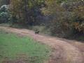 ga_hogs-coyote-2252