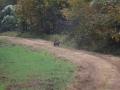 ga_hogs-coyote-2253