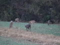 Deer on property