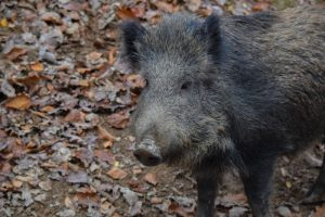 Gum Log Plantation hog facts